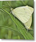 Cabbage White Butterflies 5267 Metal Print