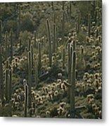 Cacti Near Tucson, Arizona Metal Print
