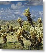 Cactus Also Called Teddy Bear Cholla Metal Print