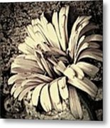 Calendula In Browns Metal Print
