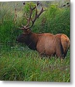California Elk 0117h Metal Print