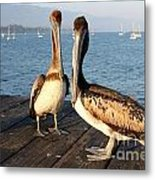 California Pelicans Metal Print