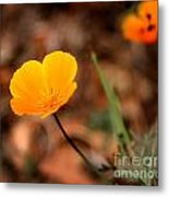 California Poppy Metal Print