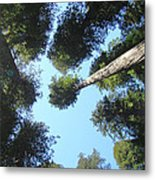 California Redwood Trees Fine Art Prints Forest Metal Print
