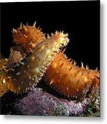 California Sea Cucumber Love Metal Print