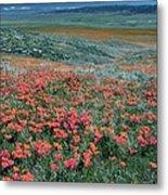 Californian Poppies (eschscholzia) Metal Print