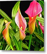 Calla Lillies Metal Print