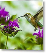 Calliope Hummingbird At Bee Balm Metal Print