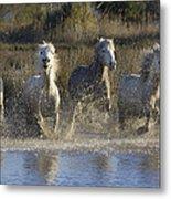 Camargue Horse Equus Caballus Group Metal Print