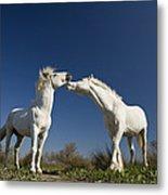 Camargue Horse Equus Caballus Stallions Metal Print