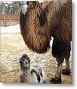 Camel And Colt Metal Print by Ria Novosti
