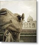 Camel In Front Of The Yamuna River And Metal Print