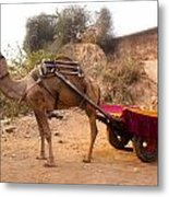 Camel Yoked To A Decorated Cart Meant For Carrying Passengers In India Metal Print