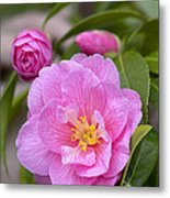 Camellia Camellia X Williamsii Donation Metal Print