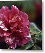 Camellia Twenty-one  Metal Print
