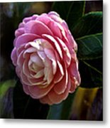 Camellia Twenty-three Metal Print