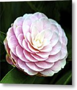 Camellia Twenty-two  Metal Print