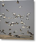 Canada Geese And White Geese Migration Metal Print