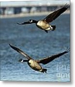 Canada Geese Coming In For A Landing Metal Print