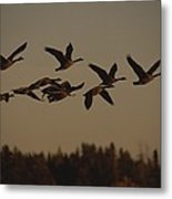 Canada Geese Fly In A Group Metal Print