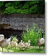 Canada Geese With Goslings Metal Print