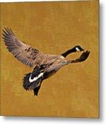 Canada Goose In Landing Approach  - C4557b Metal Print by Paul Lyndon Phillips