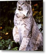 Canada Lynx With Paw Up   Metal Print