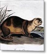 Canada Otter, 1846 Metal Print