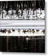 Canadian Gees At Farrington Lake Metal Print