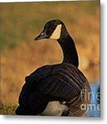 Canadian Goose Closeup By A Pond Metal Print
