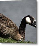 Canadian Goose Metal Print