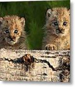 Canadian Lynx Kittens Looking Metal Print