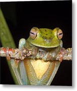 Canal Zone Tree Frog Metal Print