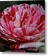 Candy Cane Rose Metal Print
