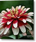 Candy Color Zinnia Metal Print