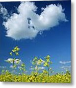 Canola Flowers, Marquette, Manitoba Metal Print