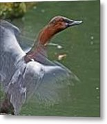 Canvasback In Action Metal Print