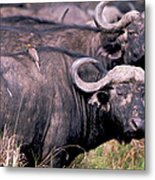 Cape Buffalo With Tick Bird Metal Print