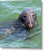 Cape Cod Harbor Seal Metal Print by Juergen Roth