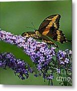 Captivating Swallowtail On Butterfly Bush Flower Metal Print
