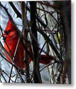 Cardinal And Thorns Metal Print