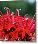Cardinal Flower Close Up Metal Print