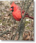Cardinal In A Bush Metal Print