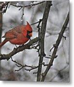 Cardinal Male 3666 Metal Print