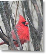 Cardinal With Fluffed Feathers Metal Print