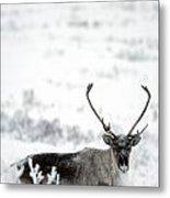 Caribou Rangifer Tarandus Dempster Metal Print
