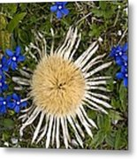 Carlina Acaulis And Gentiana Verna Metal Print