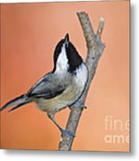 Carolina Chickadee - D007814 Metal Print