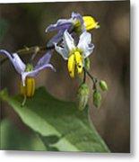 Carolina Horse Nettle - Bull Nettle - Devil's Tomato - Solanum Carolinense Metal Print