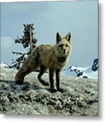 Cascade Red Fox 2 Metal Print